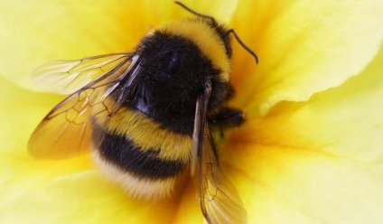 I heart bumblebees! Part Three: How we can help.