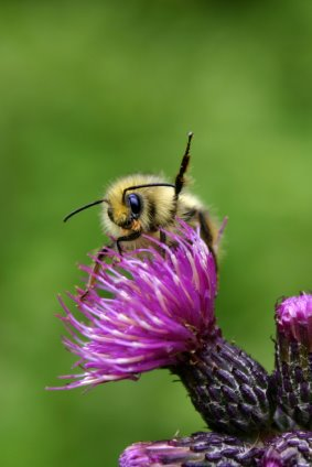 I heart bumblebees! Part One: Cool facts about Bumblebees.