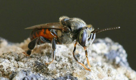 Stingless bees can mummify beetles in resin!