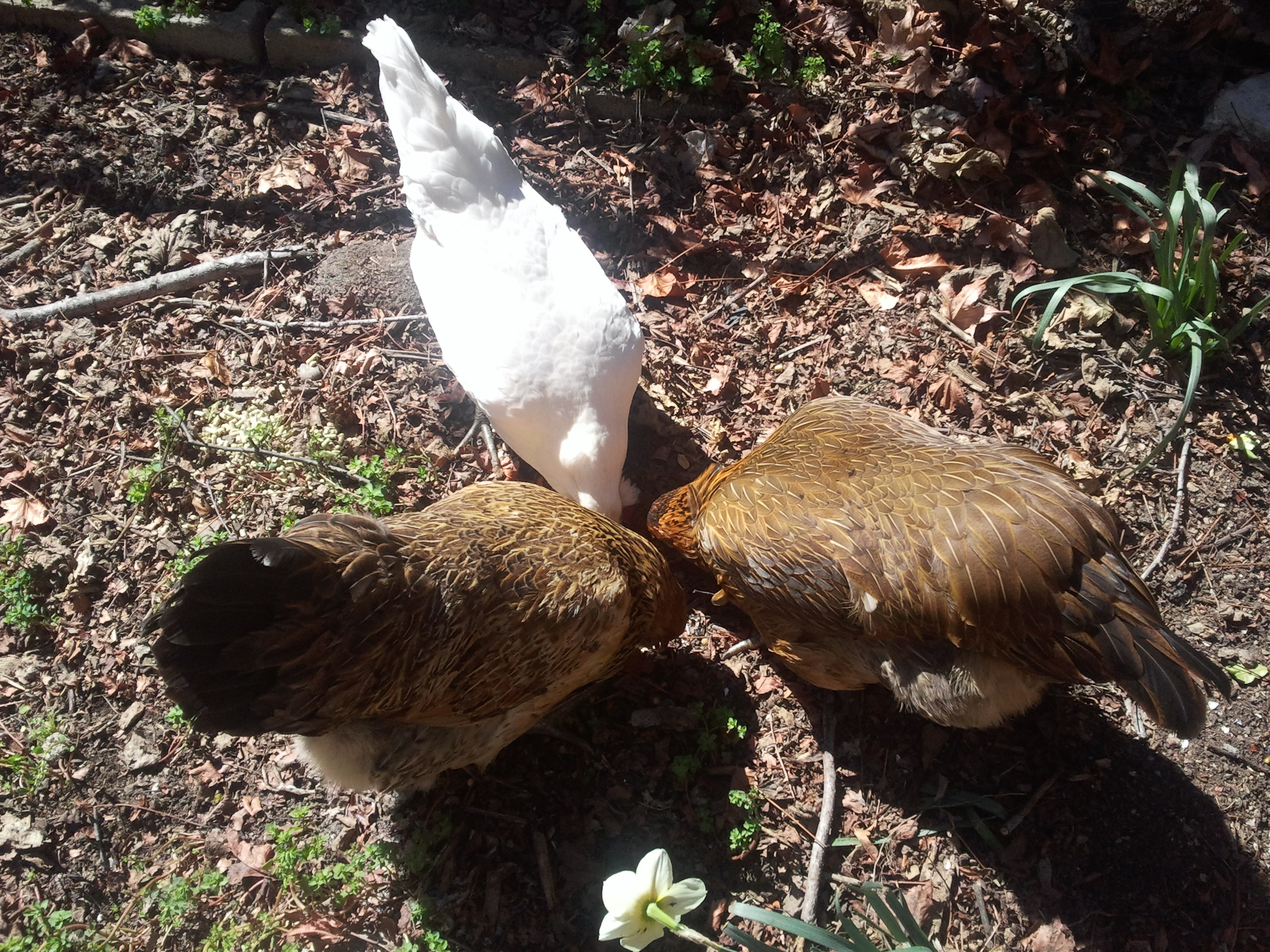 Backyard Farming Update Part 1: How We Got Our Chickens
