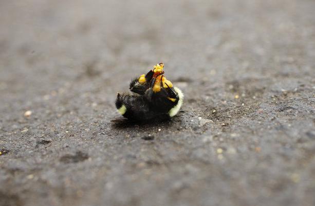Pesticides Kill Oregon Bumblebees